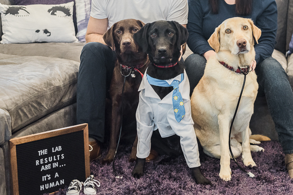 3 Labrador Retriever wearing stethoscopes, white coat, pregnancy announcement with dogs, ©Sarah Gillogly Photography