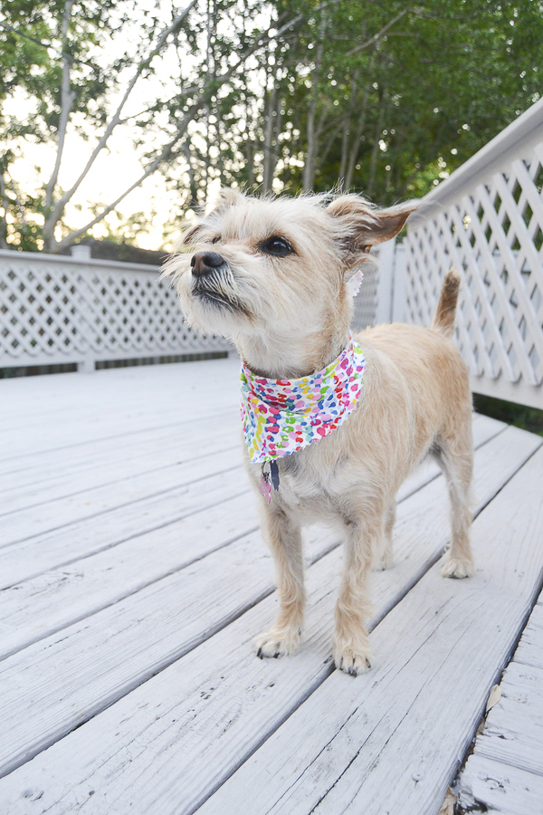 little mixed breed in brightly colored bandanna,