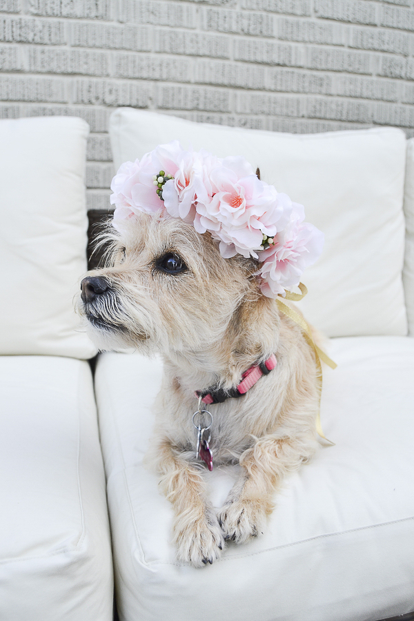 adorable terrier mix wearing flower crown