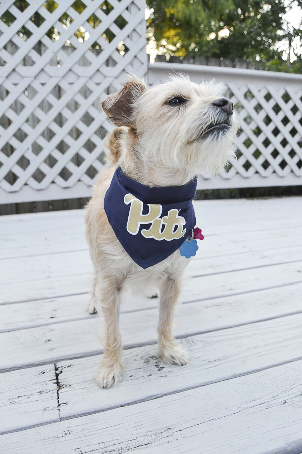 Pitt pride, dog wearing Pitt bandanna, Memphis pet photographer