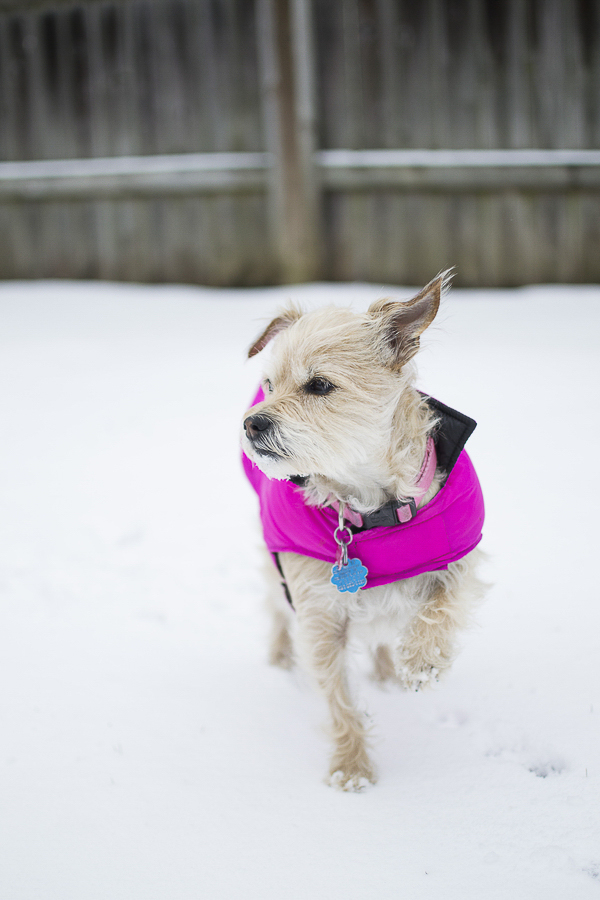 terrier mix wearing fuchsia coat | Memphis winter dog photography, snow dog