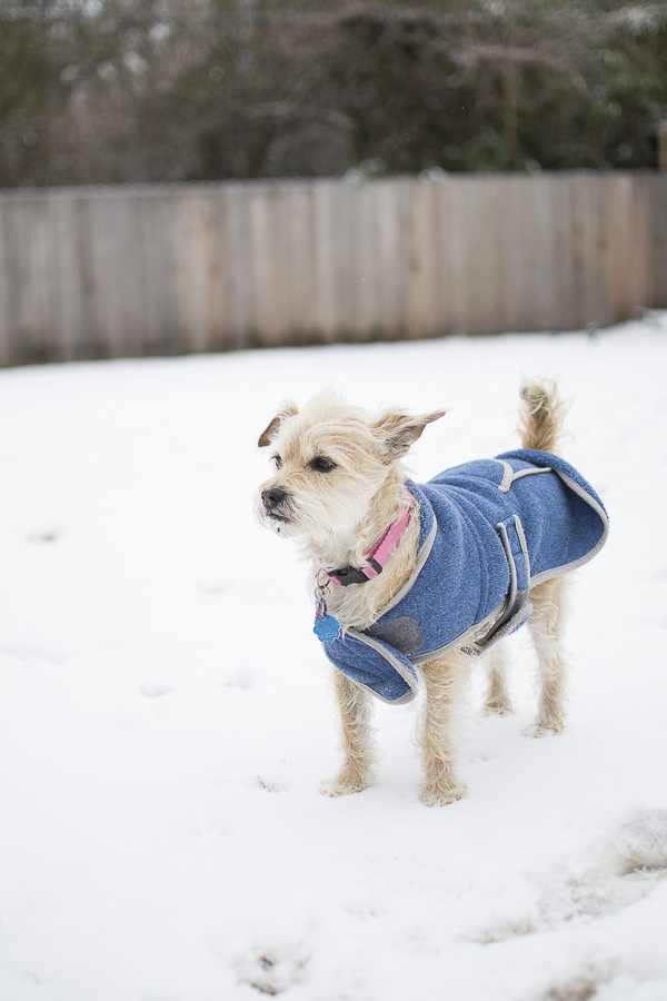 terrier mix wearing blue coat in snow
