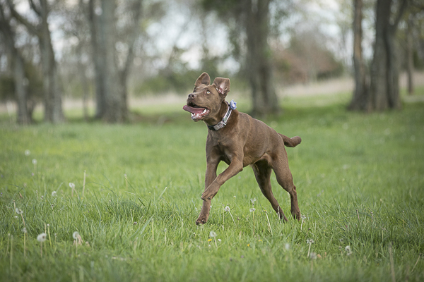brown dog running through park, Chocolate Labrador Retriever, on location dog portraits, ©K Schulz Photography