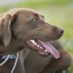 Happy Tails:  Maggie the Chocolate Lab
