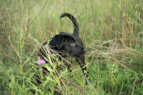 Lab/Shepherd mix pupppy in tall grass