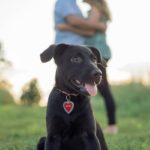Puppy Love:  Ruby the Lab/Shepherd Mix
