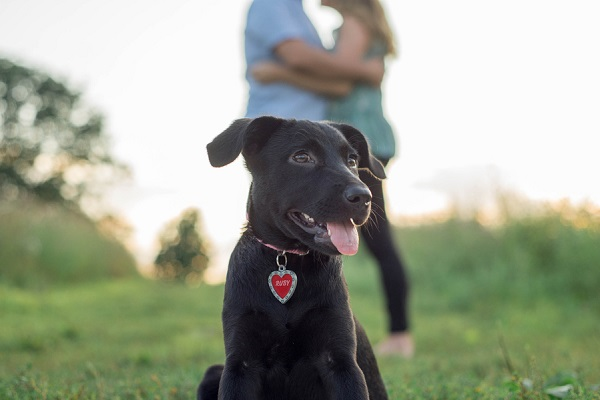 Puppy Love:  Ruby the Lab/Shepherd Mix