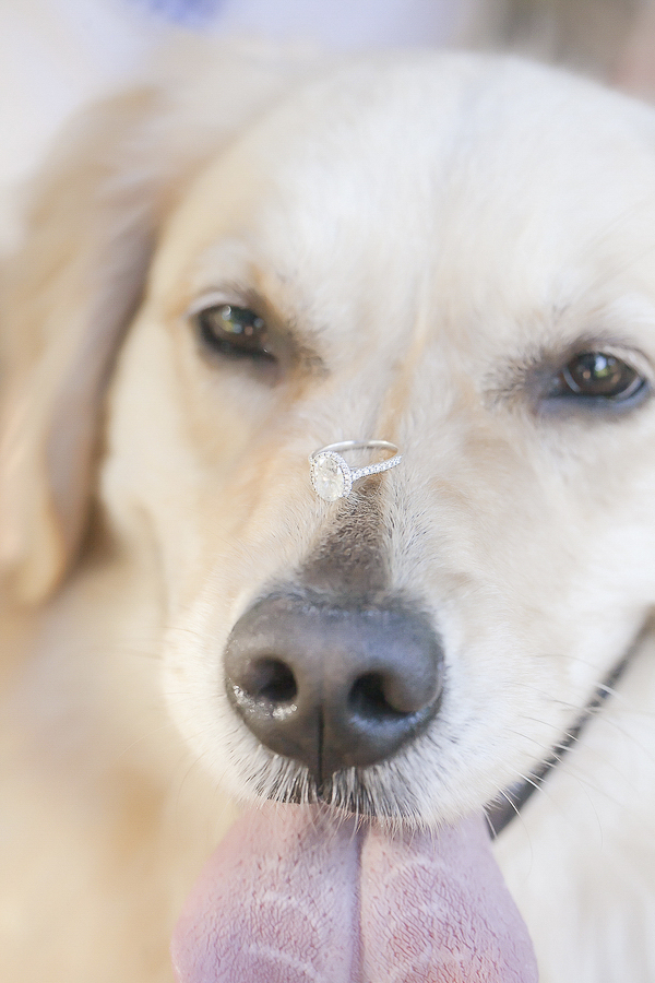 Golden Retriever balancing engagement ring on nose, dog cowlick, ©Casey Hendrickson Photography, dog portraits