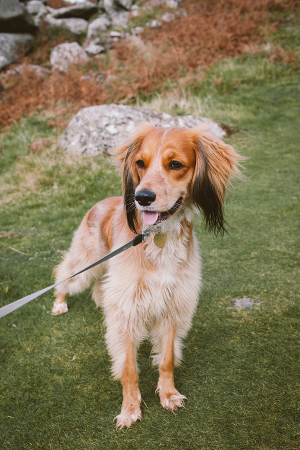 brown rescue dog on leash,