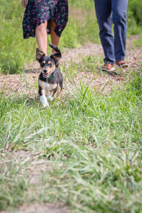 Chihuahua mixed breed puppy running on path