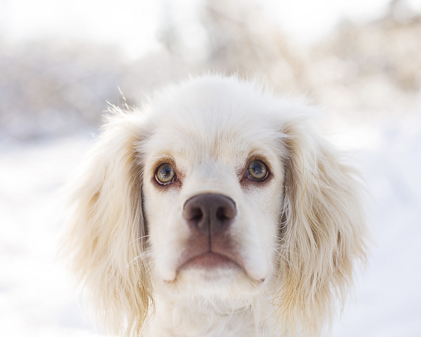 adorable Cocker Spaniel mix looking at camera, dog head shot, winter dog portraits
