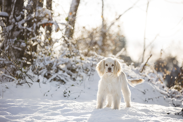 white Cocker Spaniel mix in snow, New England dog photography,