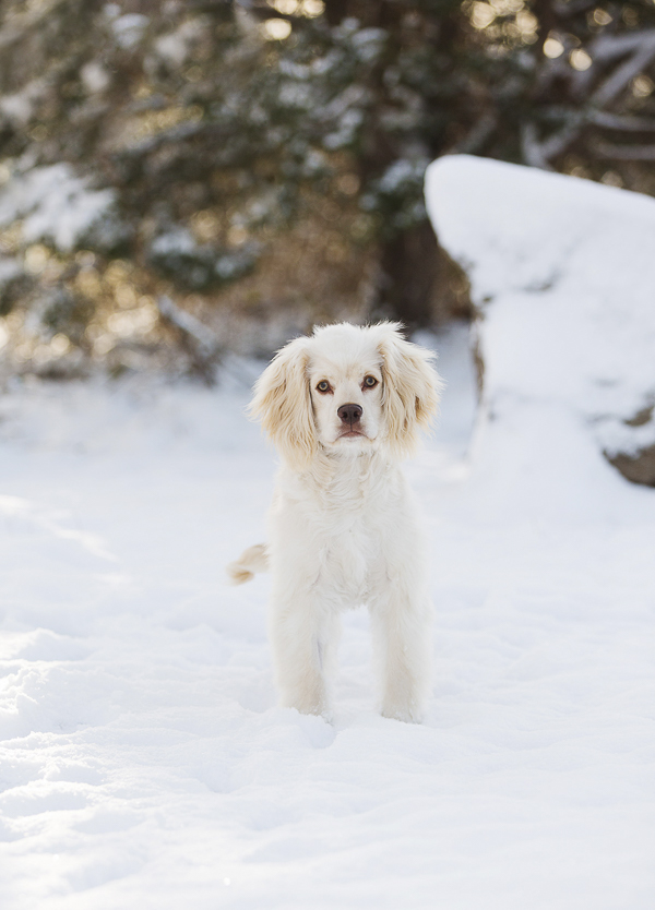 white Cocker mix standing in snow, CT on location dog photography