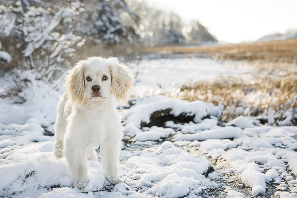 handsome white dog in snow, outdoor pet photography,
