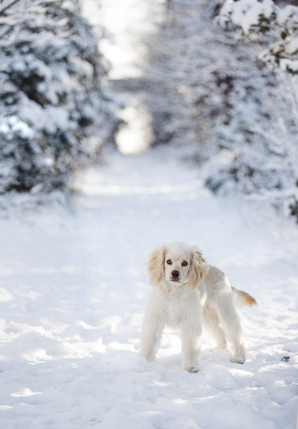 dog on path in woods, winter woods dog photography