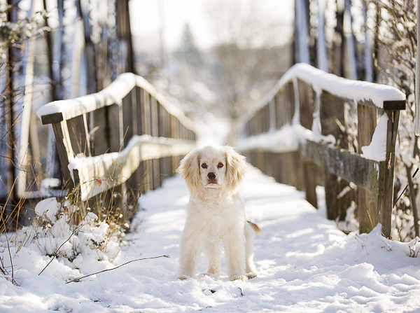 light colored spaniel mix in front of snowy bridge, on location dog photography