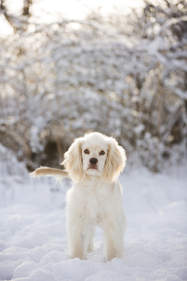 white, tan spaniel mix in snow, snowy dog portraits, winter pet photography, CT dog photographer