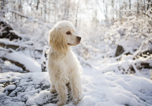 Cocker Spaniel mix in snow, beautiful dog photography