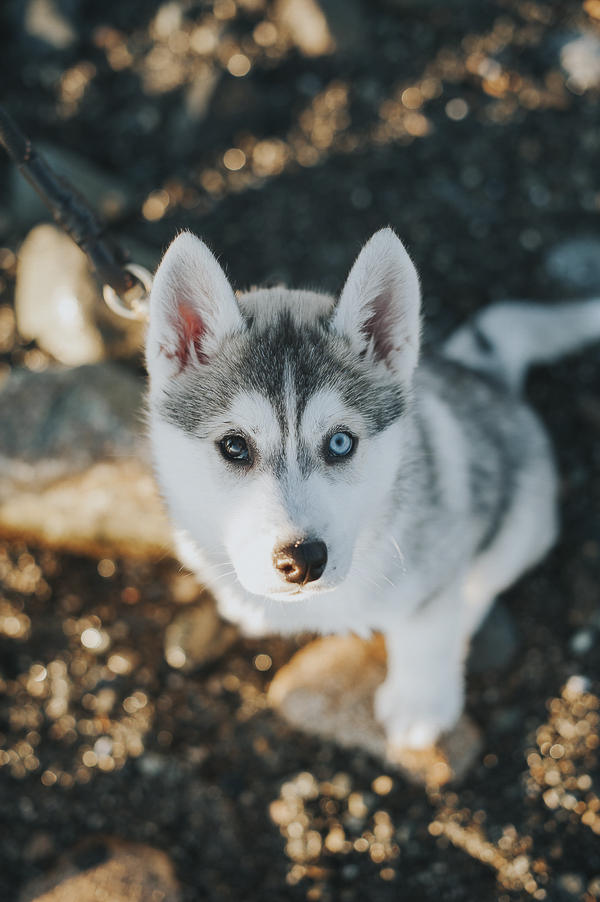 adorable Siberian Husky, one brown eye, one blue eye
