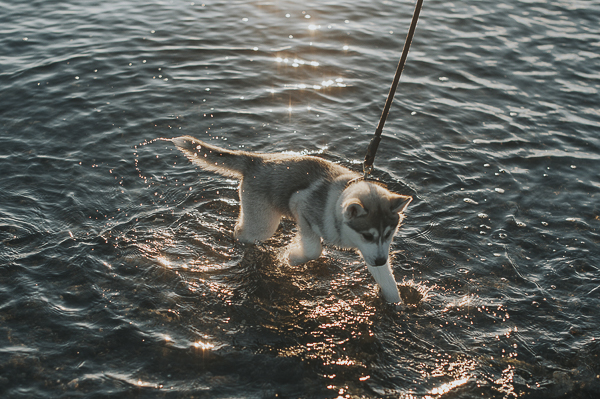 Husky puppy playing in water, Island Beach View