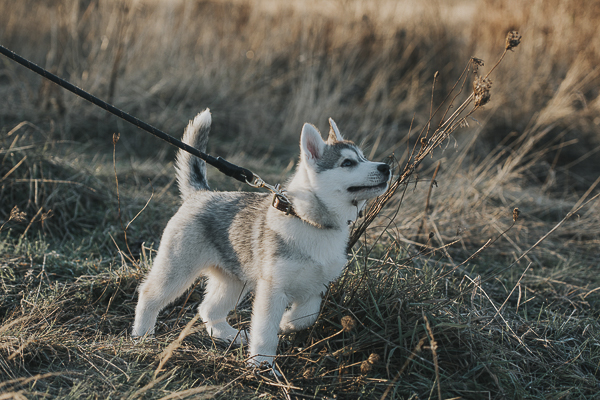 Siberian Husky pup walking on leash, lifestyle pet photography