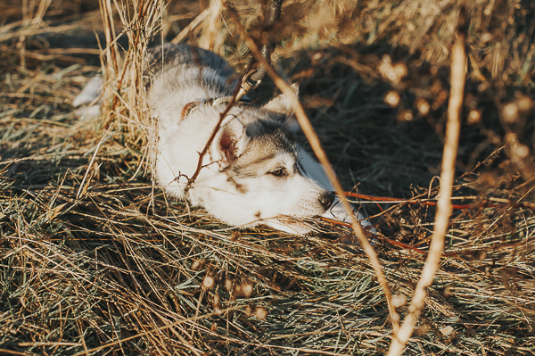 tired puppy lying in tall grass, golden hour dog portraits