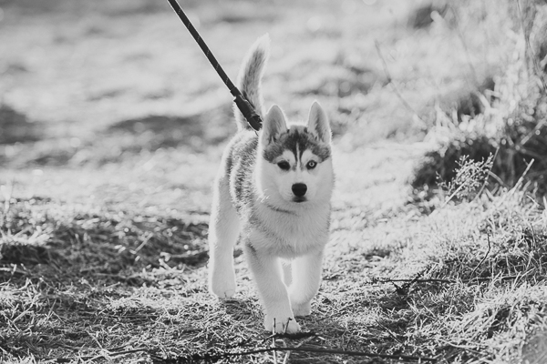 Siberian Husky puppy walking on leash, lifestyle pet photographer