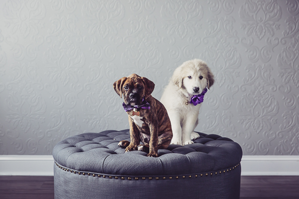 cute Boxer puppy and Great Pyr mix puppy wearing purple, studio dog photographer