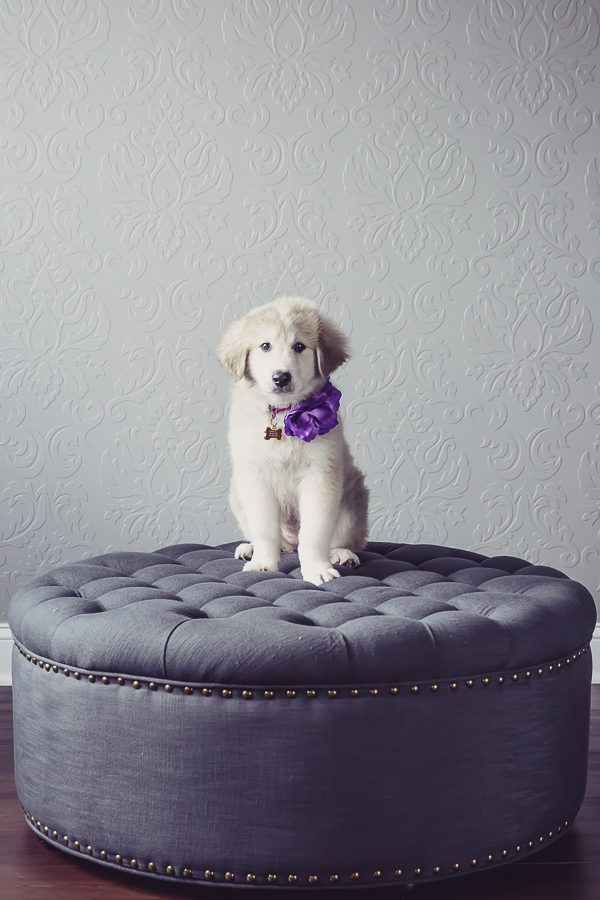 Great Pyr mix sitting on ottoman, studio puppy portraits, Anatolian Shepherd-Great Pyrenees mix puppy