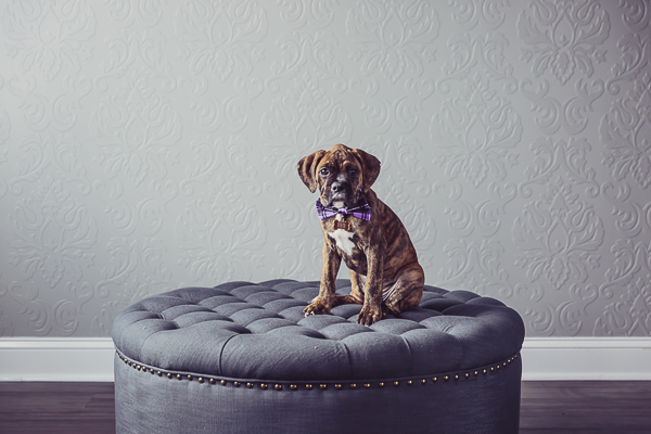 Cute Brindle Boxer puppy on ottoman, purple bow tie, studio dog photography