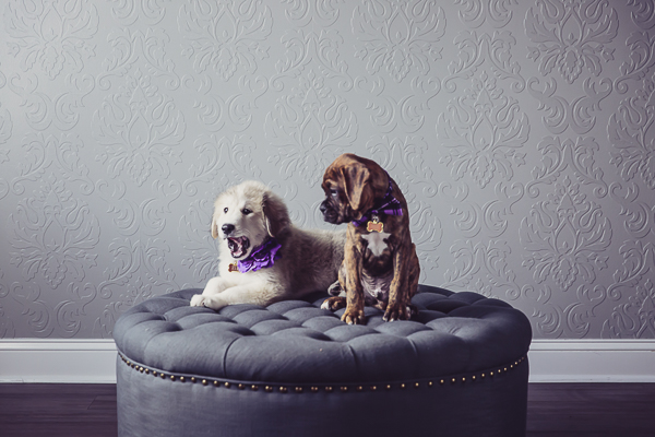 puppies wearing purple flower and bow tie, studio dog portraits