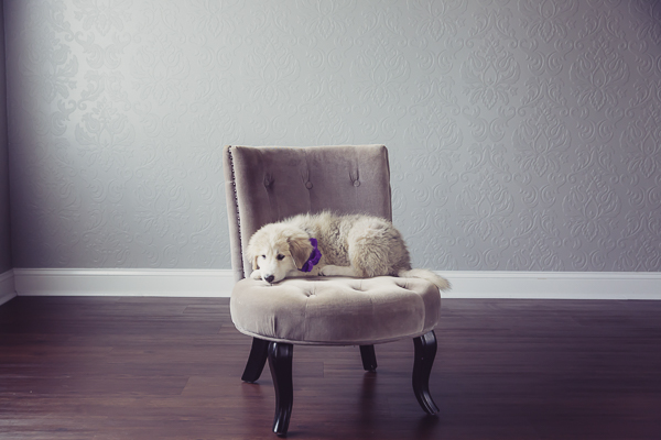 Great Pyrenees, Anatolian Shepherd mix lying on chair, studio pet portraits