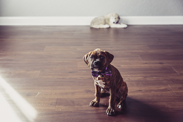 boxer puppy sitting on wood floor, Great Pyr mix puppy lying next to wall