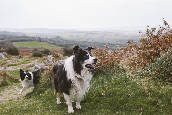 Border Collie, lifestyle dog photography, UK countryside