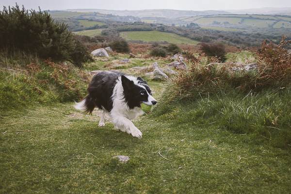 Border Collie walking up hill with tennis ball, gorgeous Cornwall landscape
