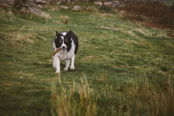 dog running down hill, beautiful British landscape, Cornwall, Hellman Tor