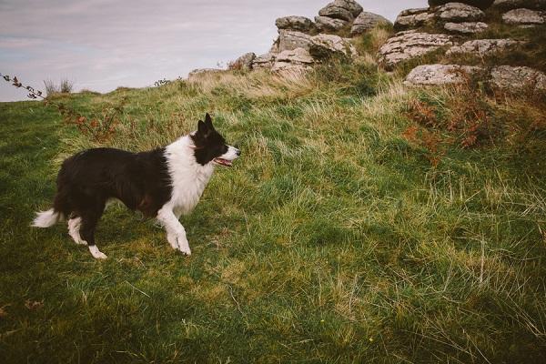 Border collie, grass, rock outcrop