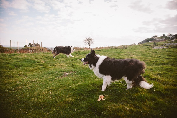 Border Collies in field, UK