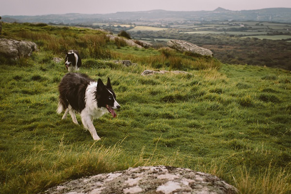 Border collies running on grassy terrace, Cornwall, UK