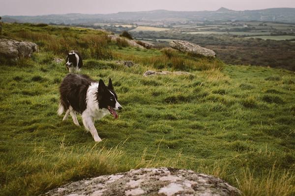 Border collies running on grassy terrace, Cornwall, UK
