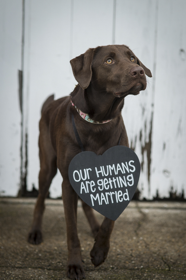 "beautiful Chocolate Lab mix wearing Save the Date sign, ""Our Humans Are Getting Married"""