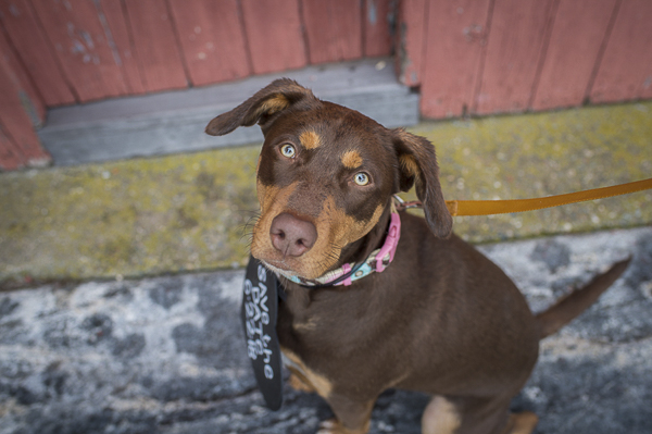 Cute Kelpie/Lab mix wearing Save the Date Sign, New Milford, CT engagement photography