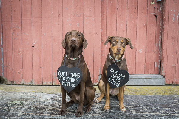Lab mix, Kelpie/Lab mix wearing Save the Date signs in front of red barn door
