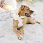 Happy Tails:  Abita Amber the Boxer-Lab Mix