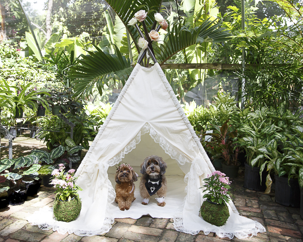 wedding tent for dogs, dog wedding, Yorkie-poo and Shih-poo,