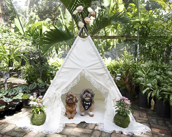 wedding tent for dogs, dog wedding, Yorkie-poo and Shih-poo,