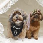 Best (Wedding) Dogs:  Coco's and Truffles' Dog Wedding