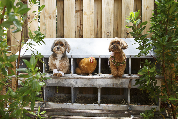 dogs and chicken in coop, cute dog photos