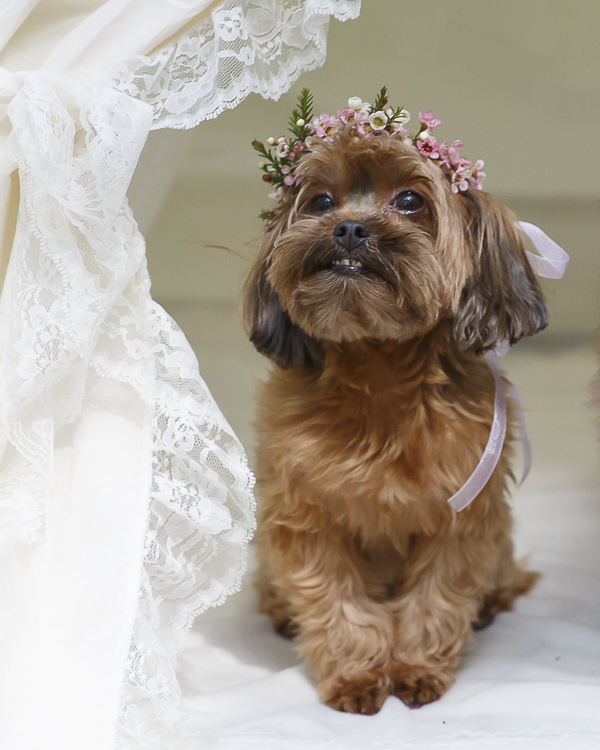 little Yorkie mix wearing pink floral crown