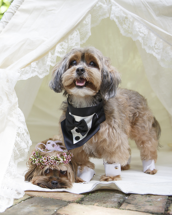 dog bride and groom in tent, wedding dogs